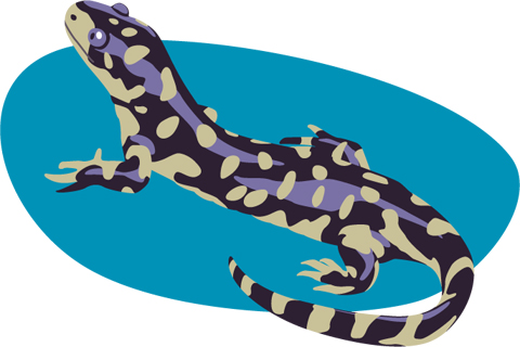 Tiger salamander illustration