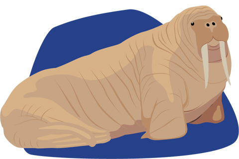 Walrus illustration