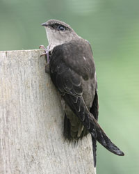 Chimney-Swift