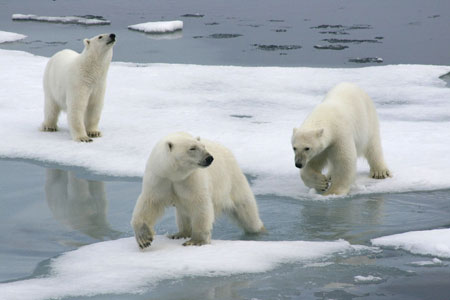 Polar bears breaking ice