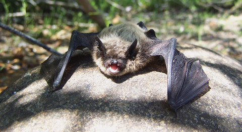 Bat sitting on a rock