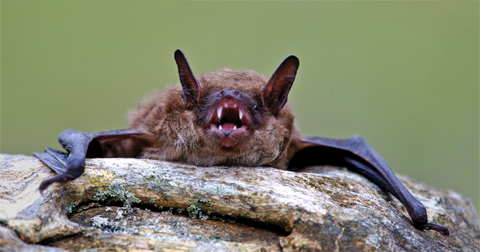 Brown bat on a log