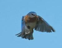 bluebird 200