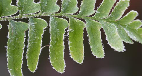 Fern leaves with frost on them
