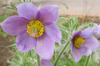 Pasque flower - 200