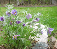 Pasque flower keeps a nice shape