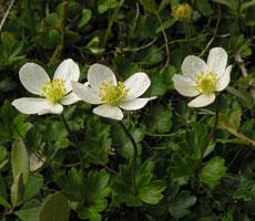 Anemone parviflora