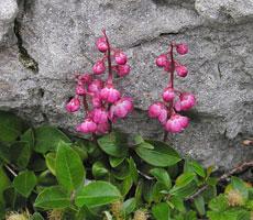 Pyrola asarifolia and Salix glauca