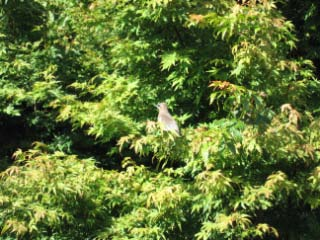 Cedar Waxwing bird in a windbreak of hedges