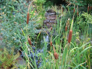 Cattails by a stream