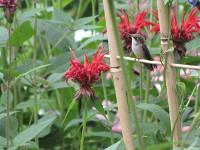 hummingbird Elaine Wiersma