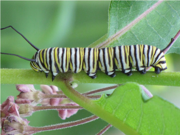 Catepillar on a leaf