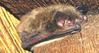 bat hiding