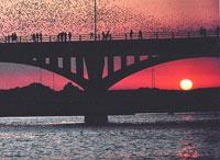 bats at sunset