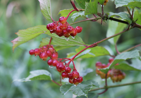 High Bush Cranberry berries