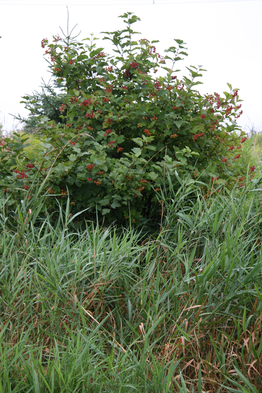 High Bush Cranberry bush