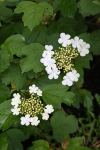 High Bush Cranberry flowers