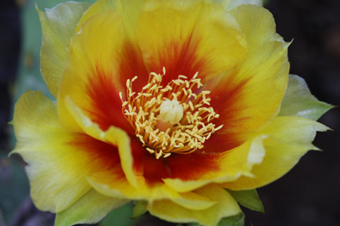 Yellow flower of a cactus