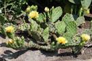 cacti of canada
