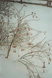 Winterberry bush in winter