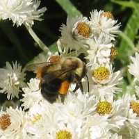 Bumblebee on Pearly Everlasting flower