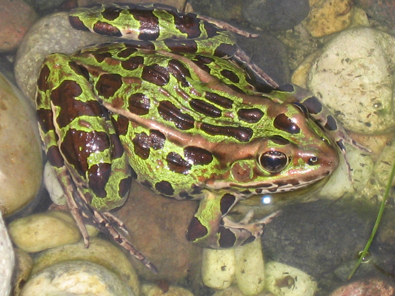 Northern leopard frog eating - photo#3