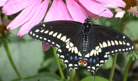 Butterfly House - Swallowtail butterfly