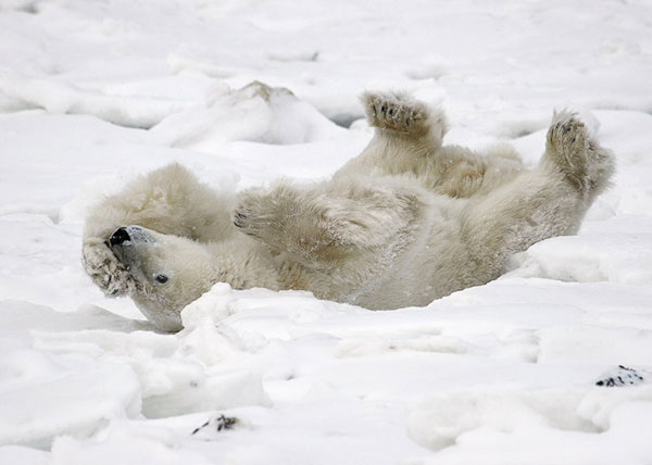 Polar bear roling in snow bank