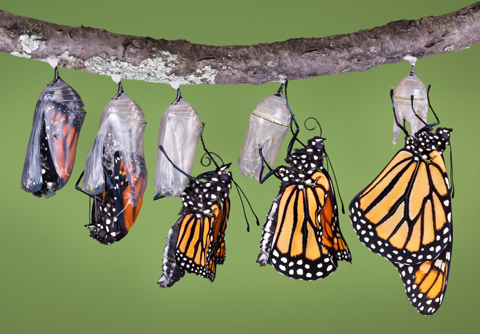 Stages of a monarch butterfly hatching