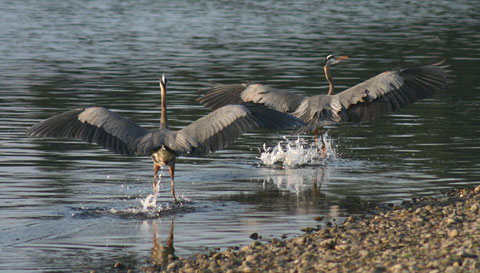 Herons in mating ritual