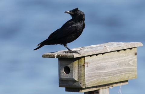 Crow480