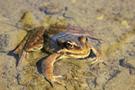 red-legged-frog