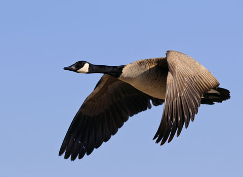 Canadian-Geese-Migrating480