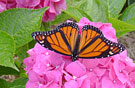 Monarch-Butterfly135