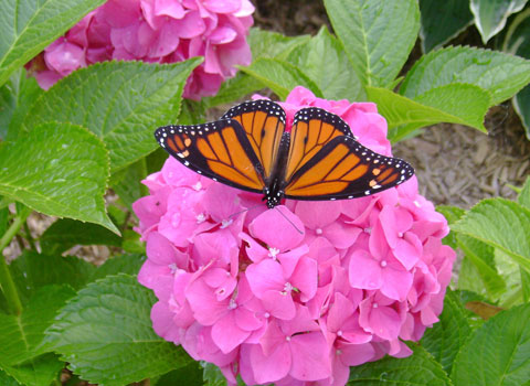 Monarch-Butterfly480