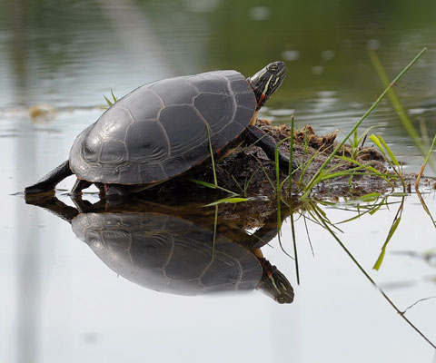 Turtle at risk.  Photo by Bert de Tilly
