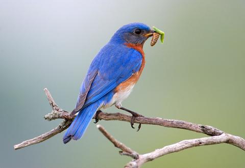 Bluebird Photo by Larry Kirtley