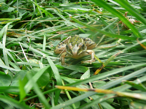 Frog on the grass