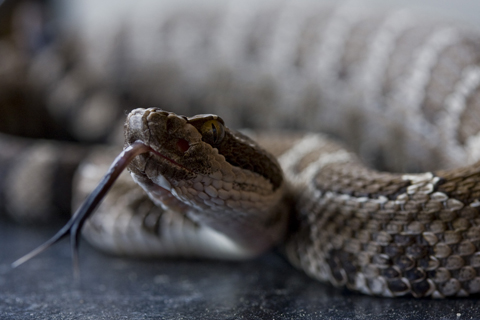 North Pacific Rattlesnake.  Photo by Emily Lornas