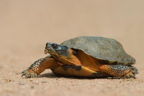 Woodland Turtle