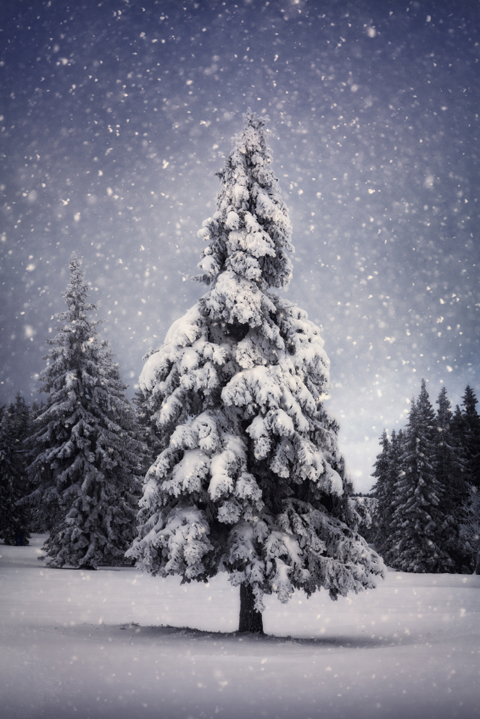 Illustration of a pine covered in snow