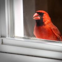 Red carinal bird on a window sill