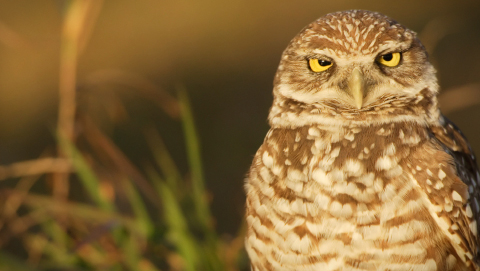 Close up of owl in a field
