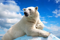 Polar bear against blue sky