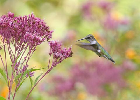 Hummingbird flying towards swamp milkweed