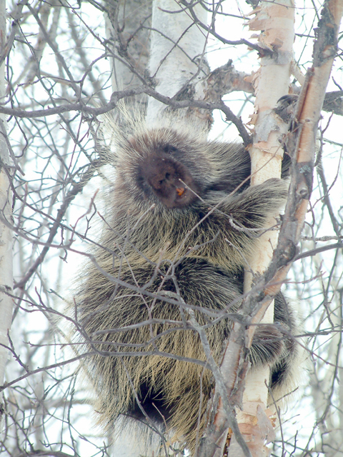 North American Porcupine in a tree