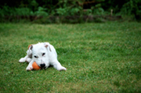 Dog playing with a ball in a backyard