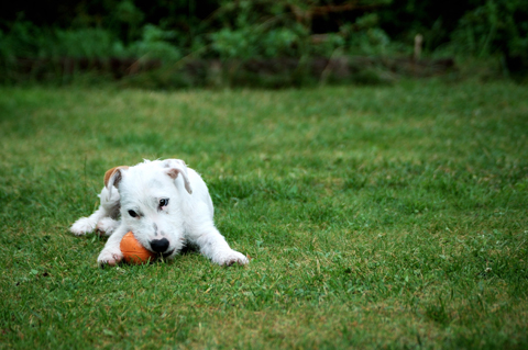 Dog chewing on a ball in the yard