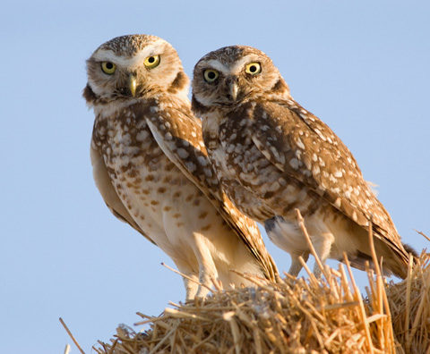 Two burrowing owls