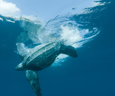 Leatherback turtle diving in the water